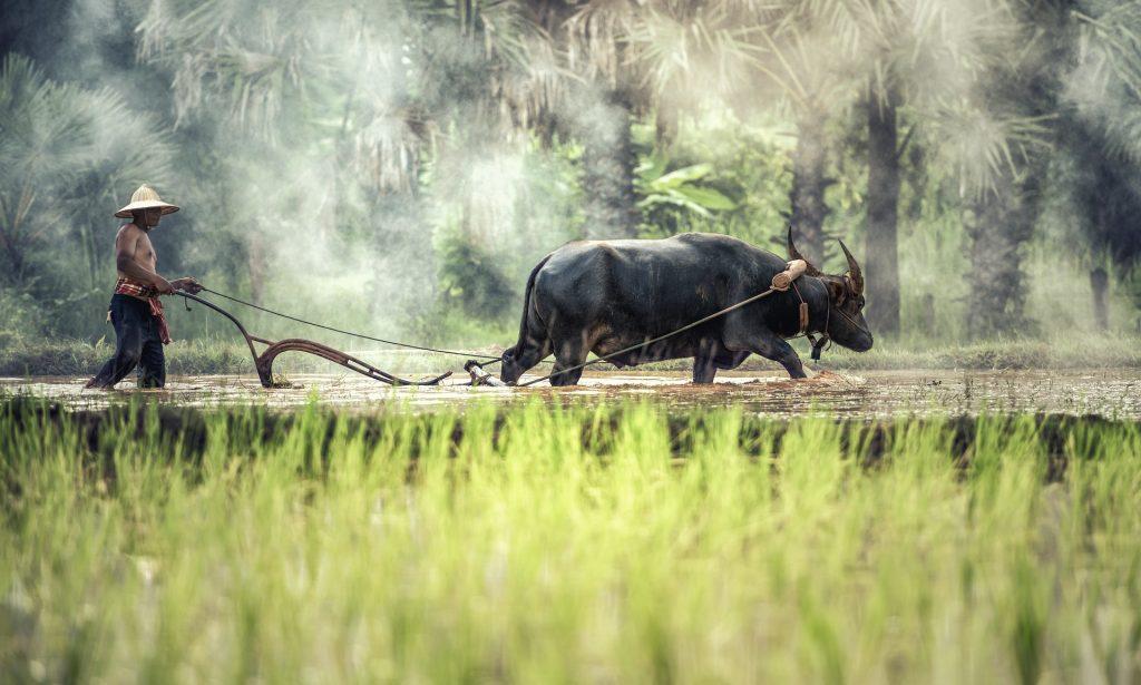 Rizière au Laos